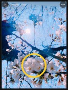足立梨花インスタストーリーズ桜画像